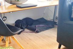 Min førerhund ligger lige så stille under skrivebordet.
